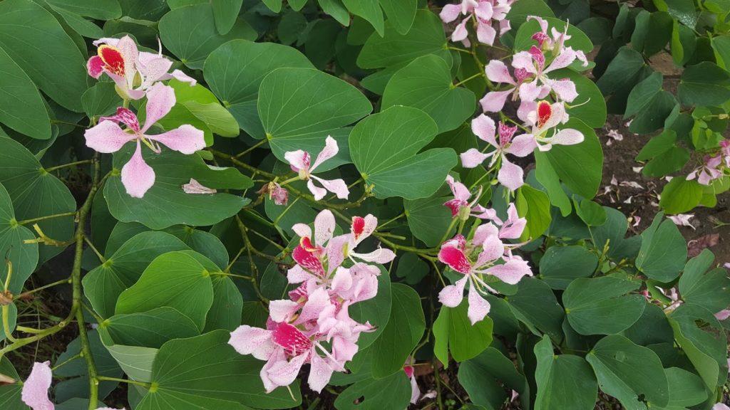 Arbusto con flores lilas y rosadas