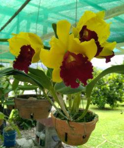 Orquídea con flores grandes amarrilas y vino tinto