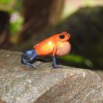 Ranita roja con patas azules roando (Cantando)